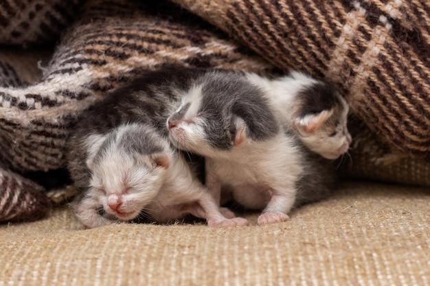 Drie kleine pasgeboren katjes onder de plaid