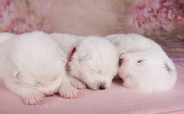 Drie kleine schattige witte samojeed-puppy's van twee weken slapen slapen