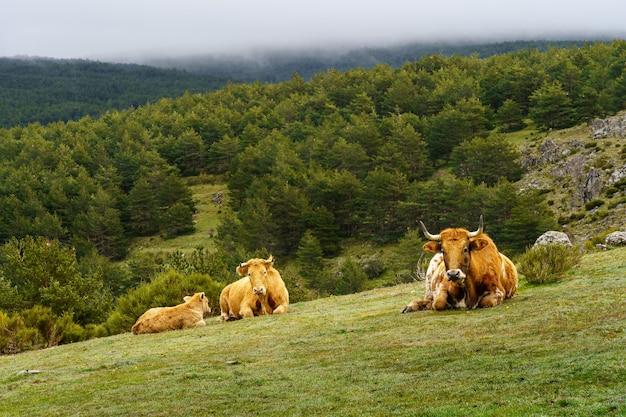 Drie koeien die in het hoge bergweiland met groene installaties en steenrotsen rusten. madrid.