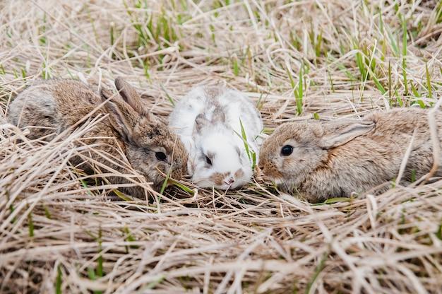 Drie konijnen in oud gras op de boerderij.