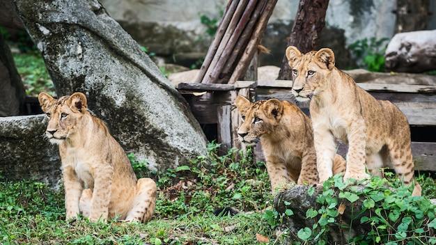 Drie leeuwenwelpen staan naar interessante dingen te kijken.