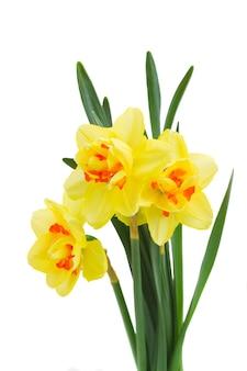 Drie lente gele narcissus geïsoleerd op een witte achtergrond