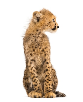 Drie maanden oude cheetah cub zitten, geïsoleerd op wit
