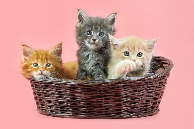 Drie maine coon-kittens in een mand, crème, rode en grijze vachtkleur. leuke korthaar rasechte katten op roze achtergrond. gember, beige en grijs haar aantrekkelijke poesjes uit nieuw nest.