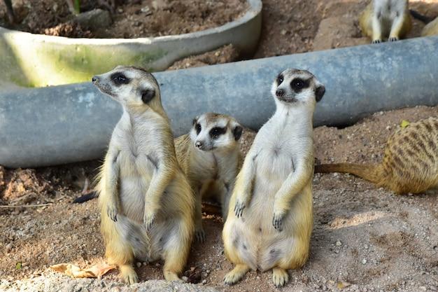 Drie meercats staan en op zoek naar iets op het zand