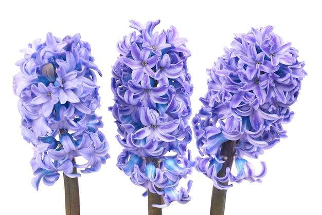 Drie mooie blauwe bloemenhyacinthes die op wit worden geïsoleerd