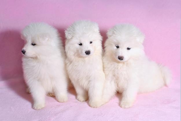 Drie mooie kleine schattige samojeed witte hond puppy op roze