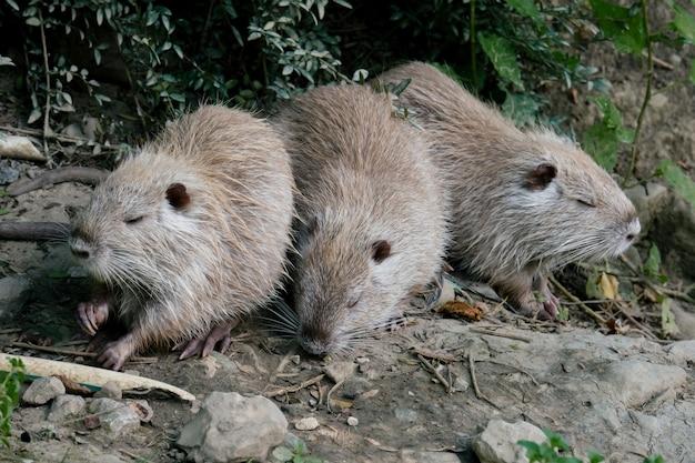 Drie nutrias op zoek naar voedsel op vijver schelp