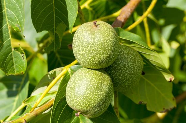Drie onrijpe walnoten die in de zomer aan een boom hangen