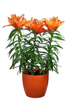 Drie oranje lelies in geïsoleerde bloempot