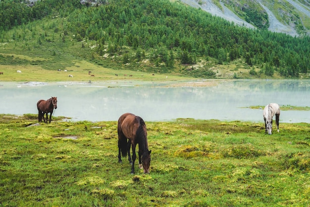 Drie paarden grazen in weiland in de buurt van rivier in bergdal. witte en bruine paarden op grasland in de buurt van bergmeer. mooi landschap met grijze en bruine paarden. bos en kudde op tegenoverliggende oever.
