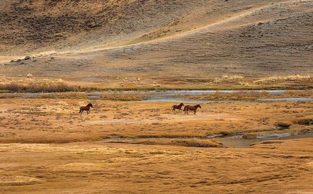 Drie paarden racen ver weg in siberië, rusland