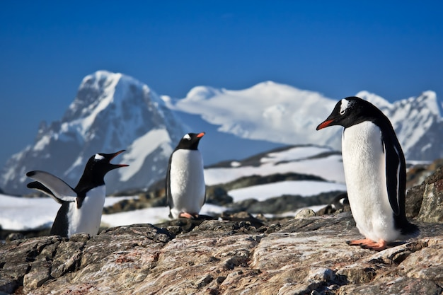 Drie pinguïns op de rotsen