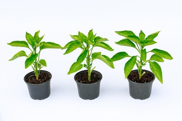 Drie plastic potten met paprikazaailingen op wit
