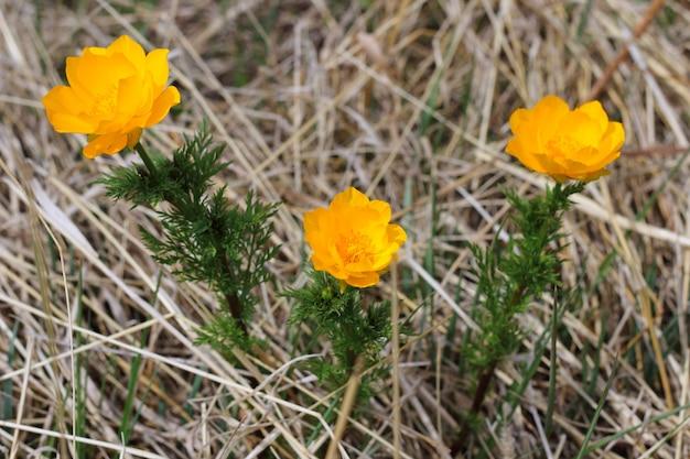 Drie prachtige bloemen, trollius