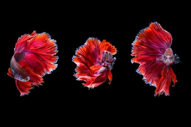 Drie red halfmoon betta-vissen die in het water dansen met verschillende bewegingen, siamese kempvissen geïsoleerd op zwarte achtergrond. hdr verwerkt