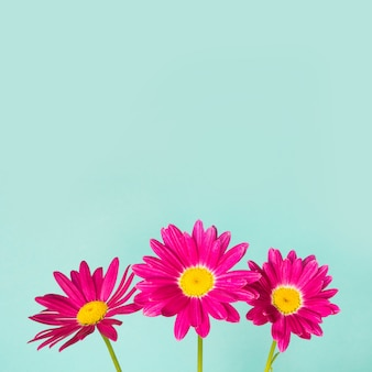 Drie roze pyrethrumbloemen op blauwe achtergrond.