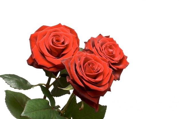 Drie rozen geïsoleerd