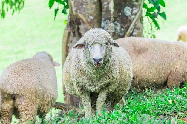 Drie schapen onder een boom in een gazon. twee schapen stonden tegenover rug.