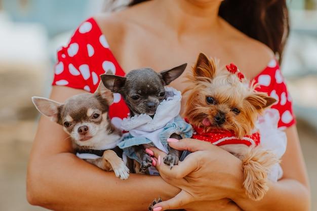 Drie schattige honden bij de handen van de vrouw in rode zomerjurk met witte vlekken