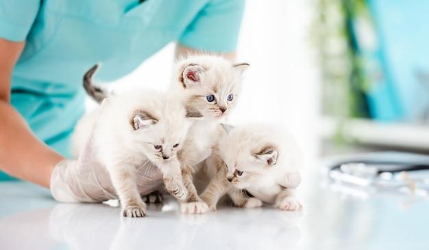 Drie schattige ragdoll-katjes met mooie blauwe ogen bij dierenartskliniek. vrouwendierenarts die schattige, rasechte, pluizige katten vasthoudt tijdens het onderzoek van de medische zorg