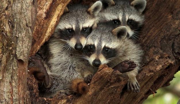 Drie schattige wasberen op een boom