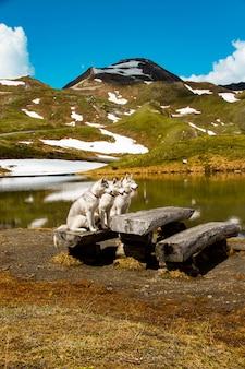 Drie siberische huskies in de natuur