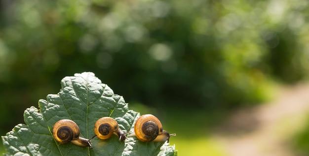 Drie tuinslakken kruipen elkaar op een blad van zwarte bes en verlicht door de zon