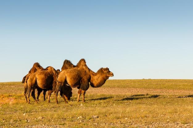 Drie twee gehobbelde kamelen