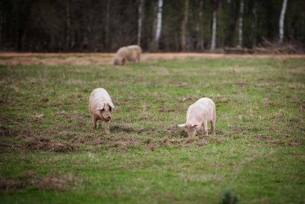 Drie varkens voeren in het veld op de boerderij grazen varkens