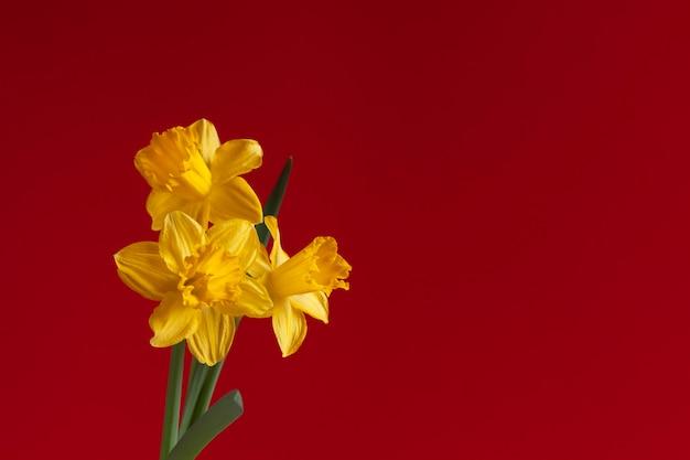 Drie verse gele narcissen, narcissen bloemen op een heldere rode achtergrond.