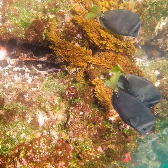 Drie vissen onderwater zwemmen, tagus cove, isabela island, galapagos eilanden, ecuador