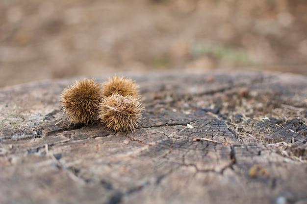Drie vruchten van een kastanjeboom op een houten log. copyspace rechts.