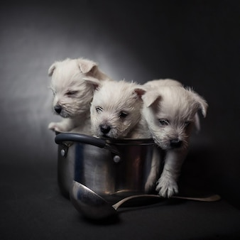 Drie west highland terrier-puppy's in een pot met een pollepel