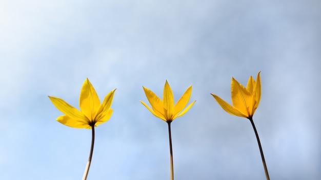Drie wilde gele lente zeldzame bloemen van tulip