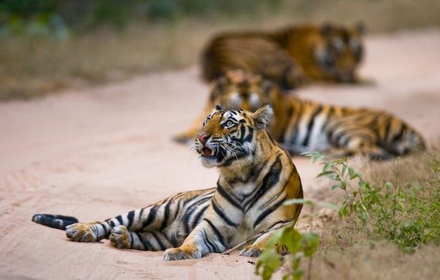 Drie wilde tijger in de jungle. india.