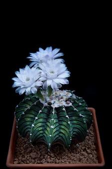Drie witte bloem van gymnocalycium-cactus