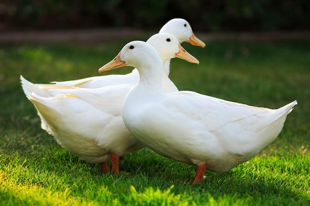 Drie witte eenden op groen gras samen