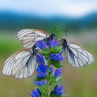 Drie witte en zwarte gestreepte vlinders op blauwe bloem
