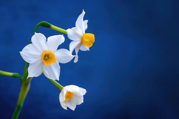 Drie witte narcissen met blauwe achtergrond