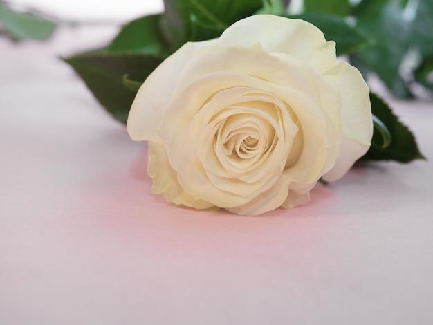 Drie witte rozen liggen op roze achtergrond, zeer mooie bloemen voor bruiloft