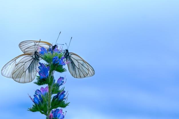 Drie witte vlinders op bloem op blauwe hemelachtergrond