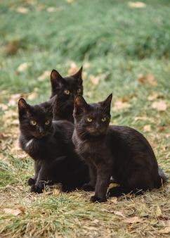 Drie zwarte kittens kijken met een boze blik naar iets
