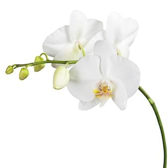 Driedaagse oude orchidee die op wit wordt geïsoleerd