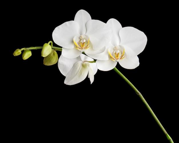 Driedaagse oude witte orchidee op zwarte