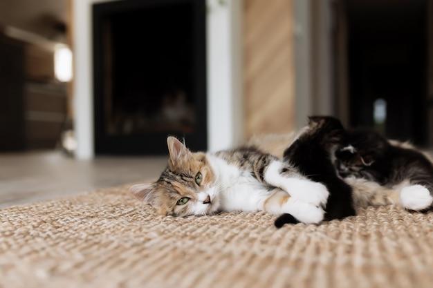 Driekleurige moederkat die op de vloer ligt met kittens en ze verzorgt. moederkat met kleine babykatten
