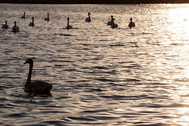 Drijvend bij zonsopgang een zwaan, zwaan in de lente in de gouden stralen tijdens de zonsopgang of zonsondergang, lente op het meer met een eenzame zwaan