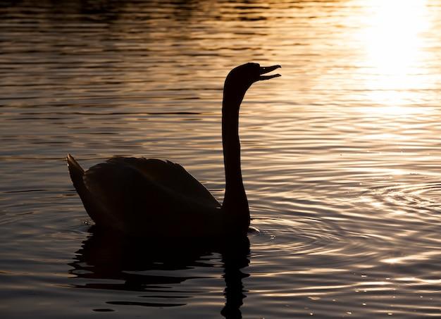 Drijvend bij zonsopgang een zwaan