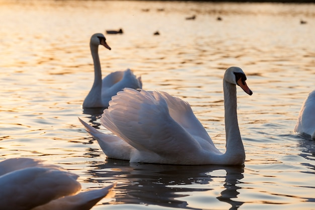 Drijvend op het water een groep witte zwanen