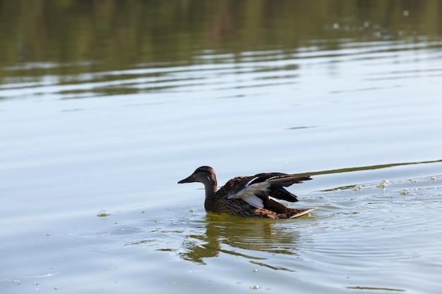Drijvende wilde eenden in het water van het meer of de rivier, wilde eenden die op het meer drijven, prachtige watervogels eenden in het water